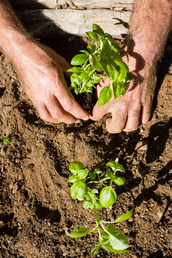 Man planting sapling in garden