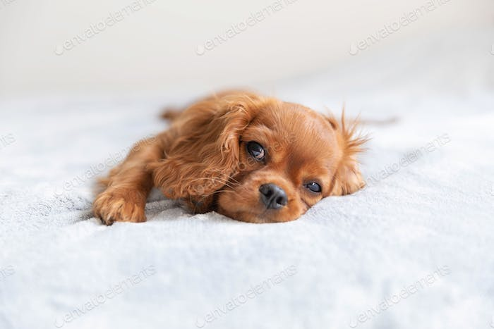 Cute puppy relaxing on the bed