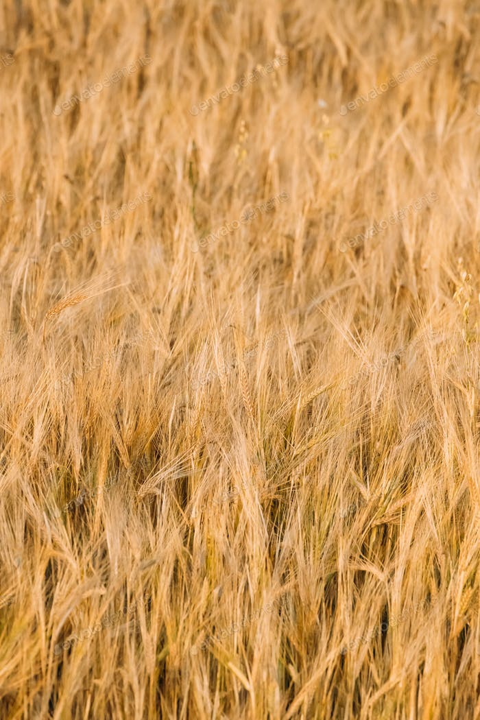 Background Of Yellow Golden Barley Ears In Summer Wheat Field