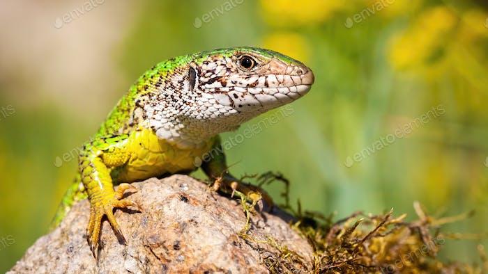 European green lizard basking on rock in summer