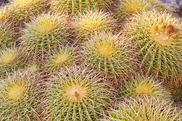 Echinacactus grusonii, succulent plants with thorns texture background
