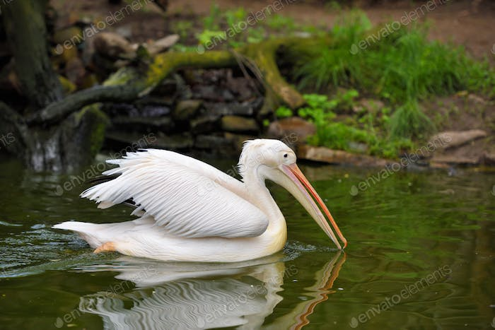 Great white or eastern white pelican, rosy pelican is a bird in