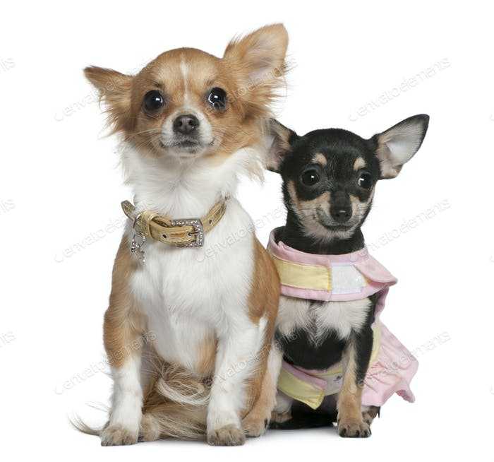 Two Chihuahuas, 6 months and 1 year old, sitting in front of white background