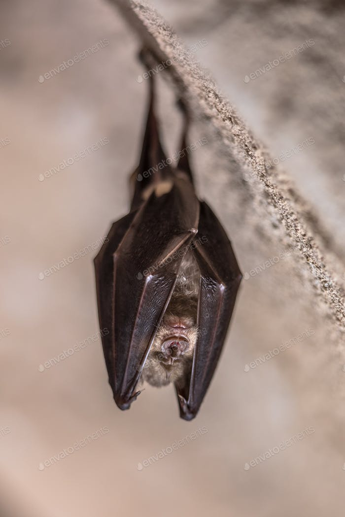 Greater horseshoe bat hanging folded