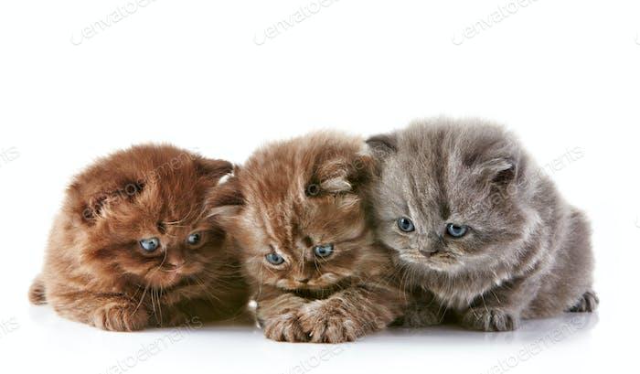 British long hair kittens