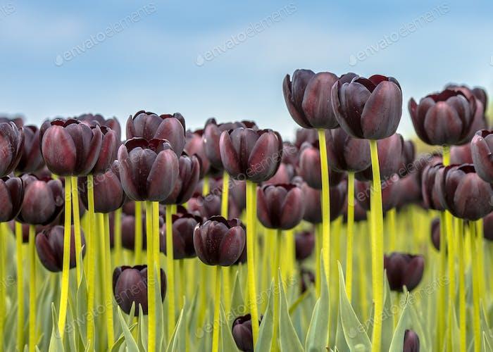 Black Tulip field closeup scene