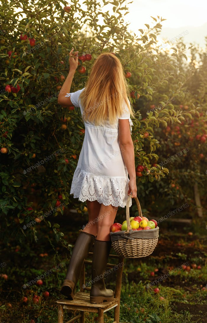 Beautiful young woman with white dress picking ripe organic apples