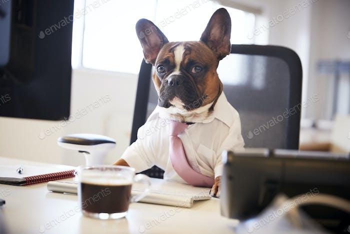Französisch Bulldogge gekleidet als Geschäftsmann arbeitet bei Schreibtisch auf Computer