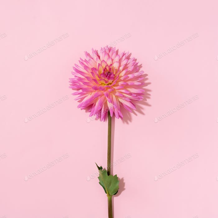Pink dahlia flower on pastel background. Top view. Flat lay. Copy space. Creative minimalism still