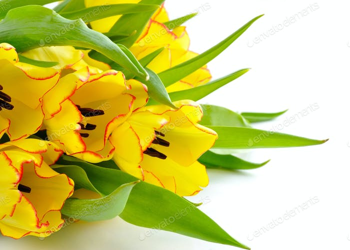 Bouquet of yellow tulip flowers on white background