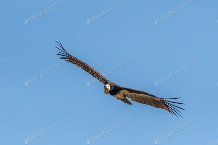 White-headed vulture in flight