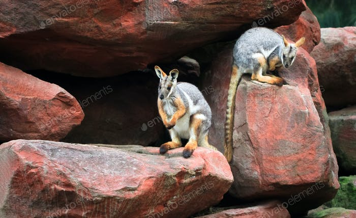 Yellow-footed Rock-wallabies on Boulders