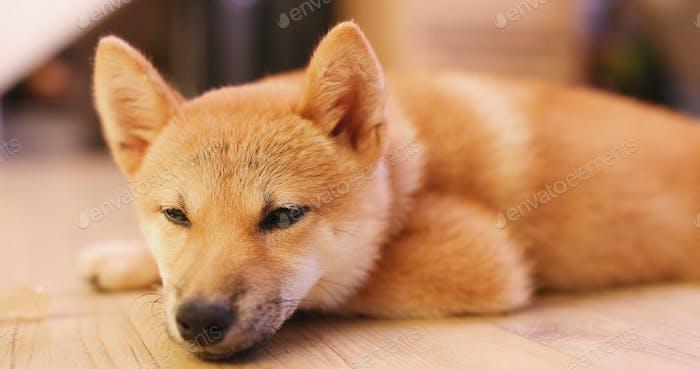Shiba Inu sleeping on floor