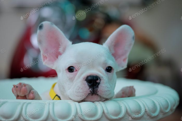 Puppies french bulldog in white pots.Header photo.