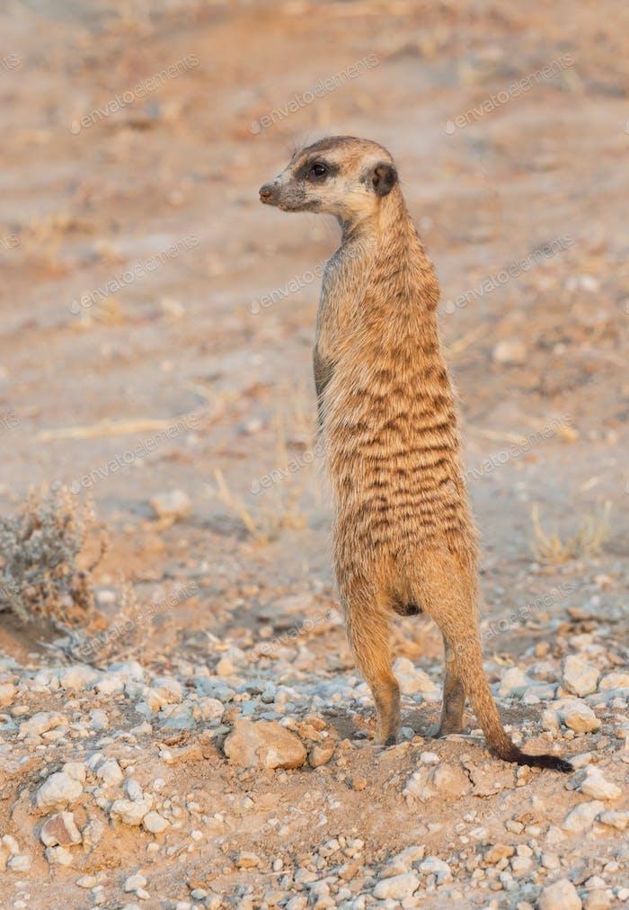Meerkat in the Kalahari