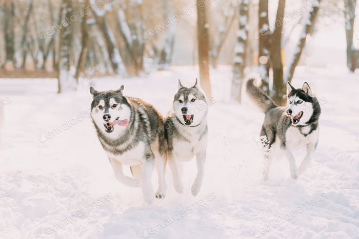 Three Funny Happy Siberian Husky Dogs Running Together Outdoor In Snowy Park At Sunny Winter Day