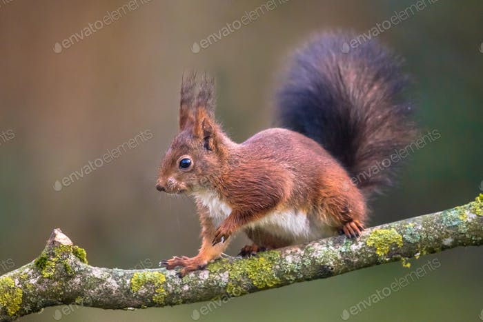 Red squirrel walking on branch