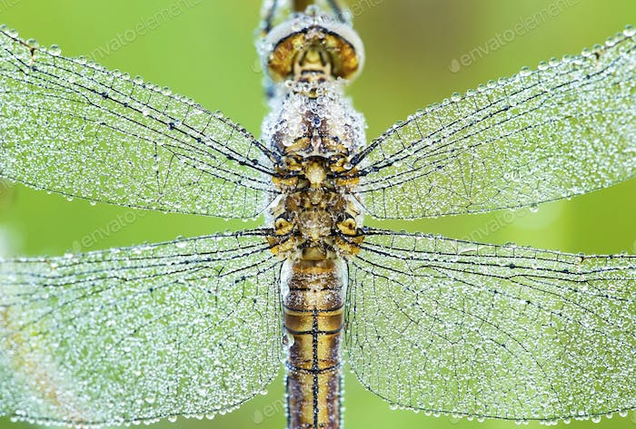 Dragonfly wings closeup