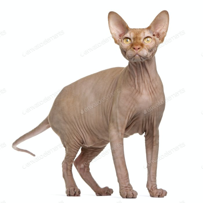 Sphynx cat, 8 months old, standing in front of white background