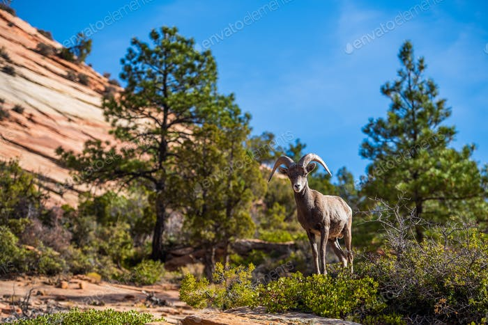 Big horned sheep in the Zion National Park forest and mountains landscape