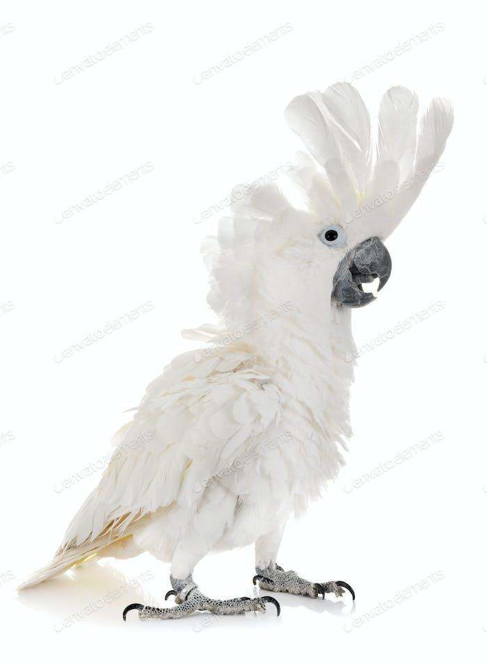Weiß Kakadu im Studio