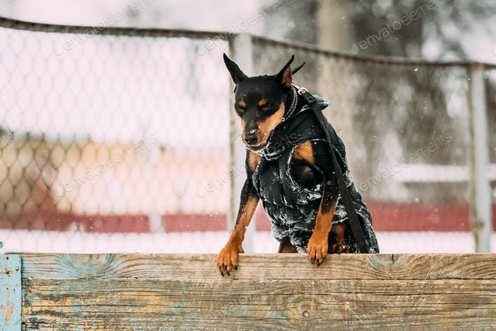 Funny Black Miniature Pinscher Zwergpinscher, Min Pin Dog Playin