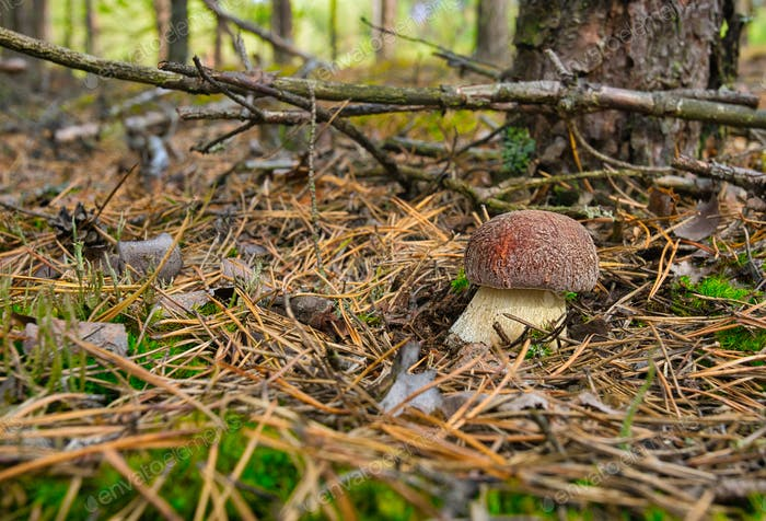 Young Boletus edulis grows in a pine forest