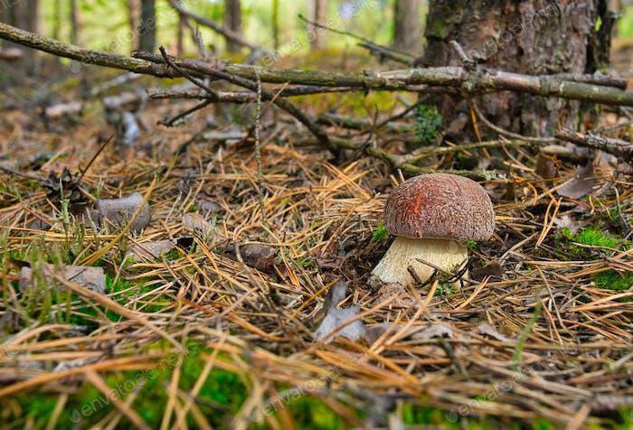 Junge Steinpilze edulis wächst in einem Kiefernwald