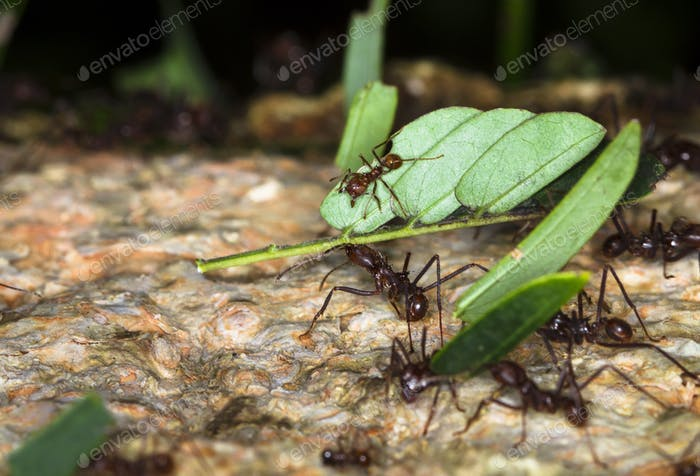 Leafcutter Ants Carrying Leaves in Belize