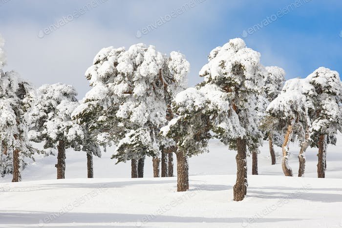 Snowy forest landscape in winter time. Navacerrada, Madrid, Spain. Scenery