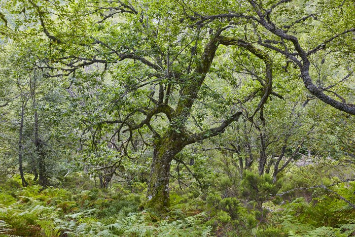Old oak tree in the forest. Muniellos Biosphere reserve. Spain