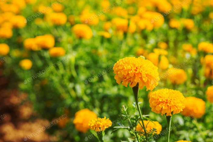 marigolds on the plantation