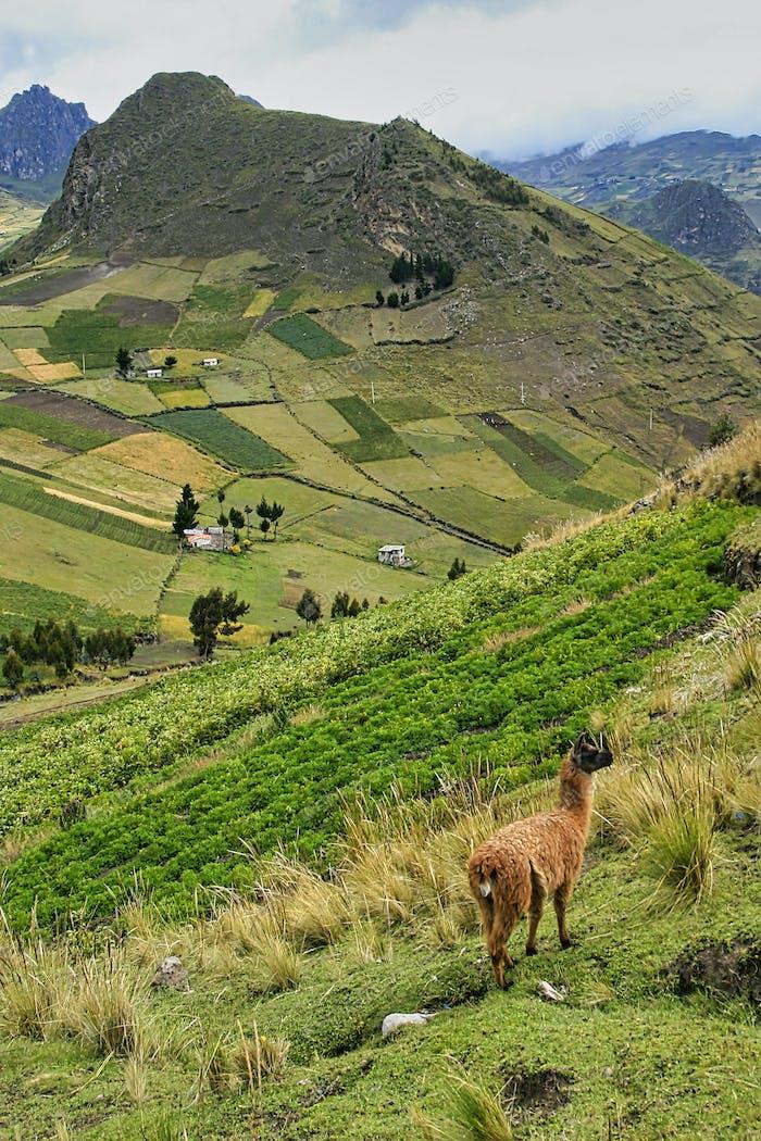 Llamas, Ecuadorian Andes, Ecuador