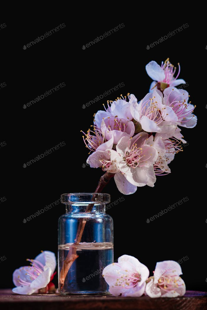 Cherry blossom branch minimalist still life. Pink flowers, spring bloom concept on a black