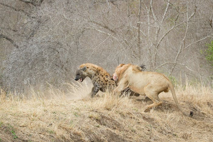 A male lion, Panthera leo, bites a spotted hyena, Crocuta crocuta, on its back