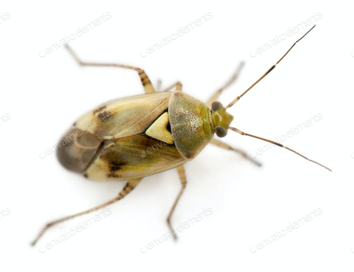 Plant bug, Miridae Lygus sp, against white background