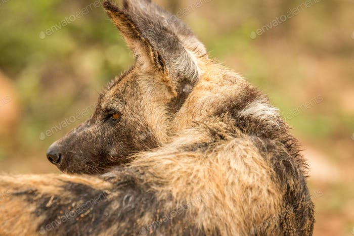 Darsteller afrikanischer wilder Hund von hinten.