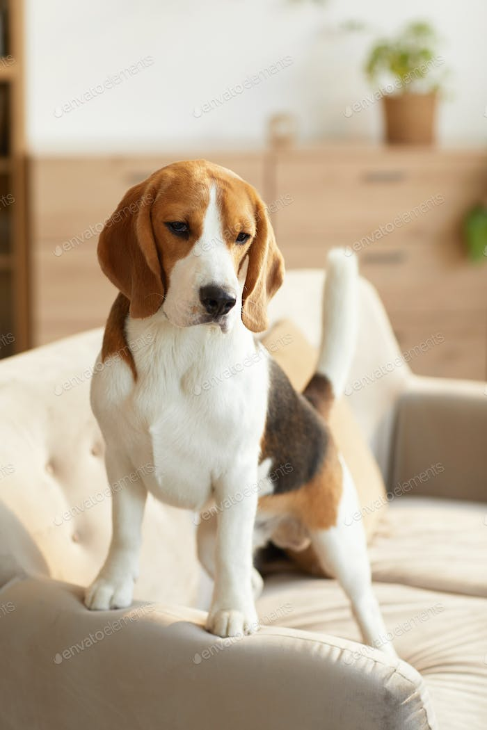 Beagle Dog on Couch