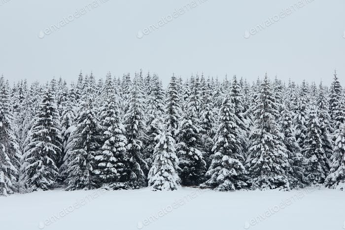 Winter scene of mountain forest during frosty day
