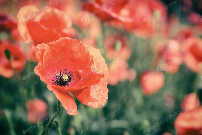 Poppy flowers retro vintage summer background