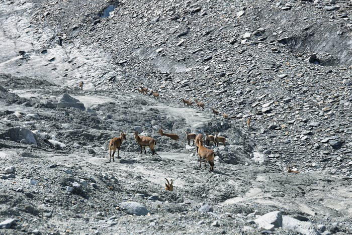 Herf od Chamois (Rupicapra rupicapra) in Gebroulaz glacier morrine, Vanoise national park, , France