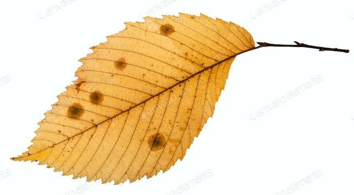 back side of rotten autumn leaf of elm tree