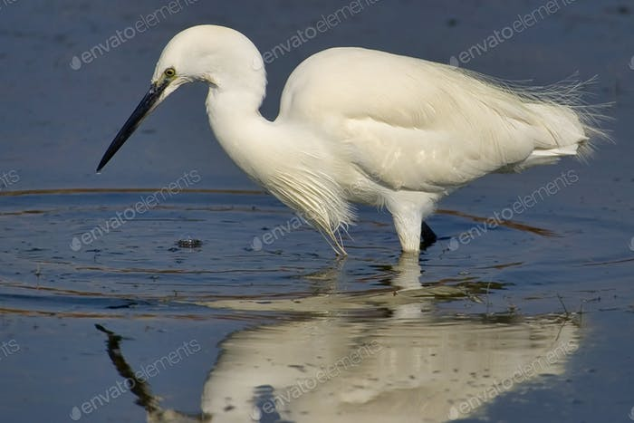 Little Egret, Salinas de Santa Pola Natural Park, Spain