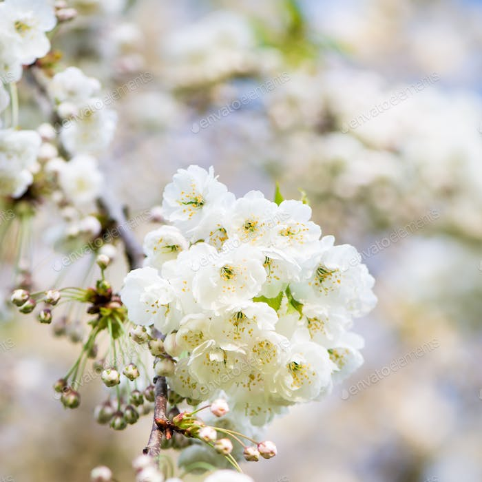 Cherry Blooming, Springtime