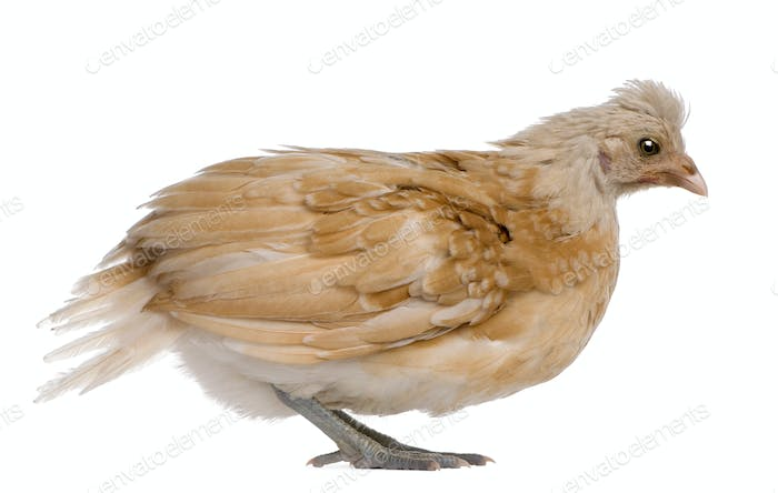 Polish Chicken, 36 days old, standing in front of white background