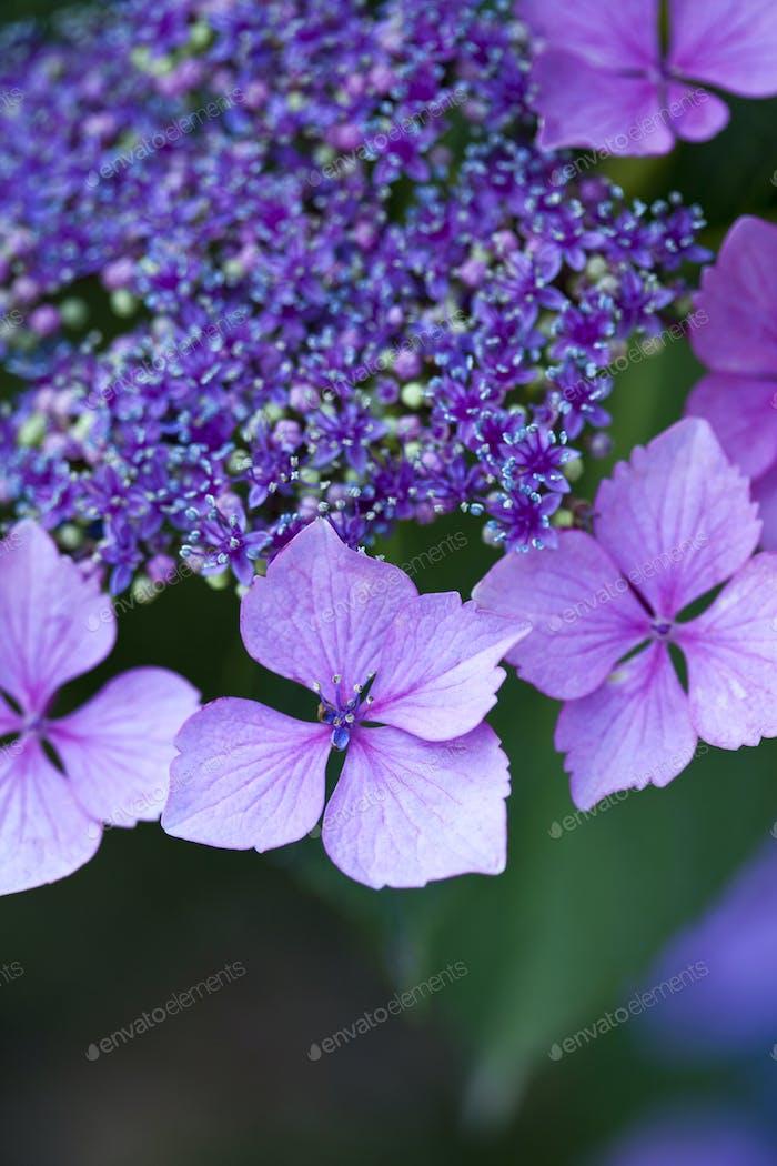 Violette Blätter einer Hortensie