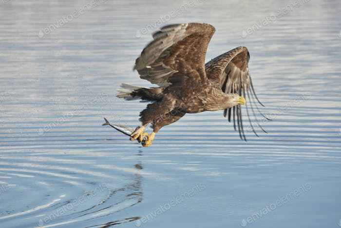 White-Tailed Eagle (Haliaeetus albicilla) catching fish, winter.