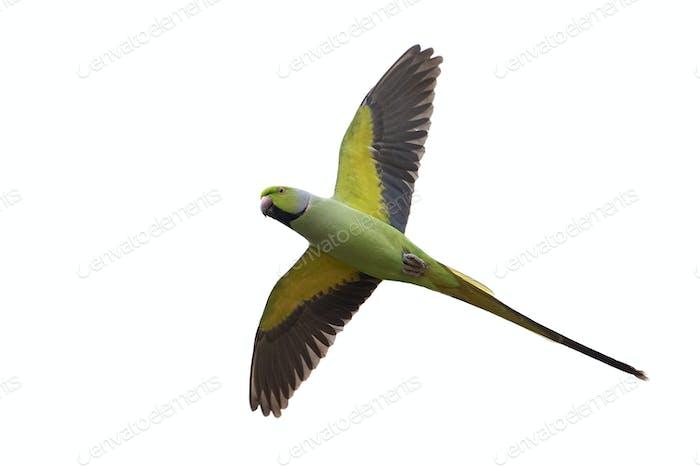 Rose-ringed parakeet (Psittacula krameri)