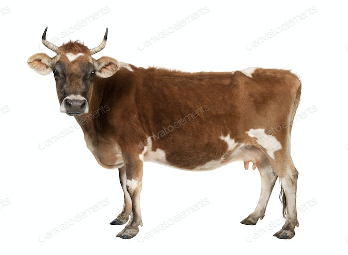 brown Jersey cow (10 years old)