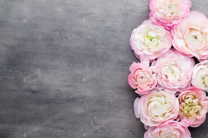 Pink beautiful ranunculus on gray background.